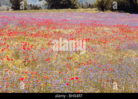 Poppies in the French Alps, near Grenoble - Stock Photo