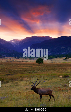 Elk in Moraine Park, Rocky Mountain National Park, Colorado. - Stock Photo