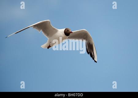 Black-Headed Gull (Larus ridibundus), adult, in summer plumage in flight, Brean Sands, Somerset, England, July - Stock Photo