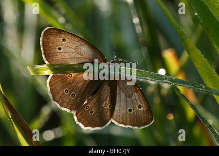 Ringlet Butterfly (Aphantopus hyperantus), adult, backlit, resting on grass, Warwickshire, England, July - Stock Photo