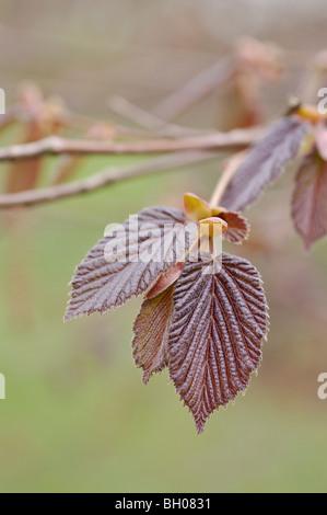 Filbert (Corylus maxima 'Purpurea') - Stock Photo