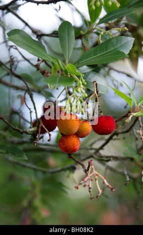 Strawberry Tree, Arbutus unedo 'Elfin King', Ericaceae - Stock Photo