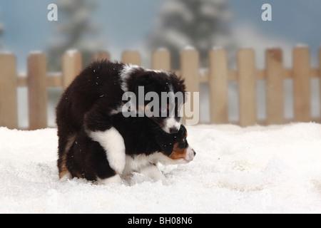 Australian Shepherd, black-tri, puppies, 6 weeks - Stock Photo