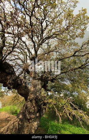 Israel, Lower Galilee, Mount Tabor Oak at Alon Tavor Field School - Stock Photo