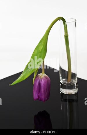 Wilting Tulip in Vase - Stock Photo