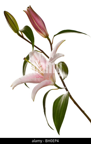 pink lily flowers isolated on a white background - Stock Photo