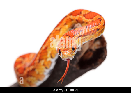 Snake on a branch - Stock Photo
