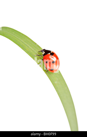 Ladybird walking on a leaf isolated on white background - Stock Photo