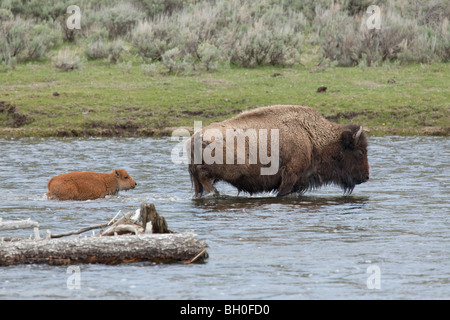 Bison and her calf wade through the Madison River in West Yellowstone to graze on the river bank. - Stock Photo
