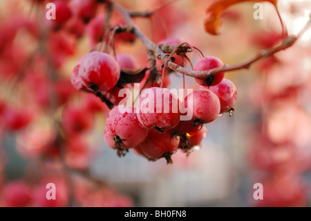 A branch of crab apple tree with bunch of ripe red fruits on a blurry background - Stock Photo