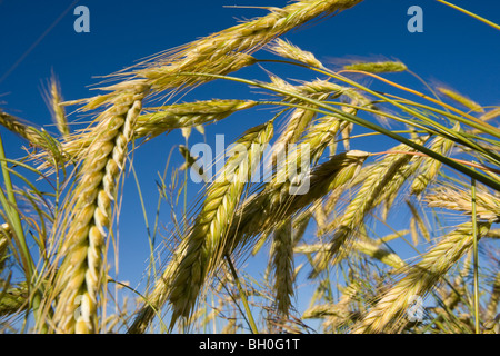 A wheat crop in a field on the Canadian Prairie - Stock Photo