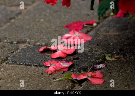 Pink and salmon-colored Impatien flowers (Impatiens walleriana) resting on a stone walkway after heavy rainfall. - Stock Photo