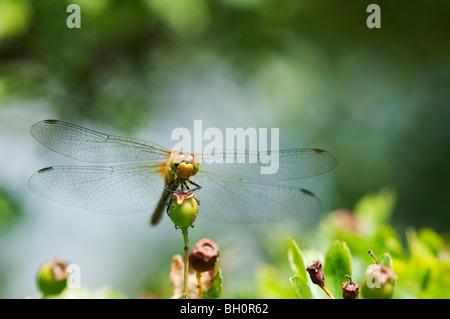 Common Darter (Sympetrum striolatum) dragonfly, Kent, England. - Stock Photo