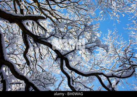 A snow covered tree near Snowshill in the Cotswolds, UK - Stock Photo