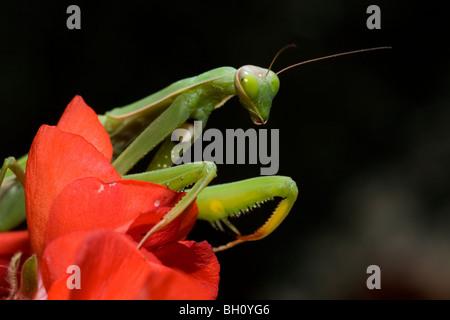 Portrait of a praying mantis - Stock Photo