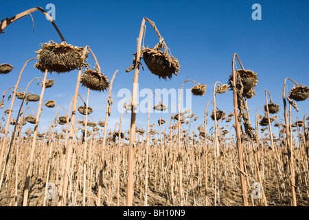field of dead sunflowers against blue sky - Stock Photo