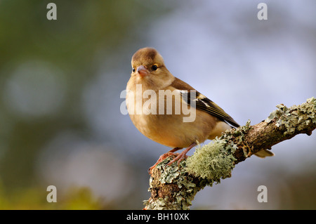 Male chaffinch with raised crest perching on a branch - Stock Photo