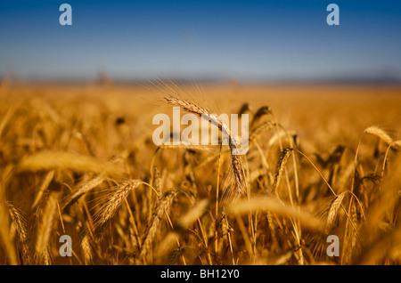 Beautiful landscape image of a wheat field - Stock Photo