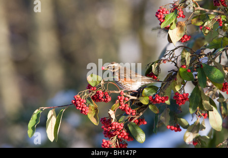 Redwing Turdus iliacus adult feeding on red berries with a berry in its bill - Stock Photo
