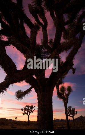 Joshua Tree at Joshua Tree National Park, California. - Stock Photo