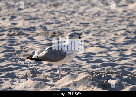 Mew (probably young Herring Gull, Larus argentatus) standing on the beach at Baltic Sea, Swinoujscie, Poland - Stock Photo