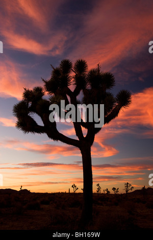 Joshua Tree at Joshua Tree National Park, California. - Stock Photo
