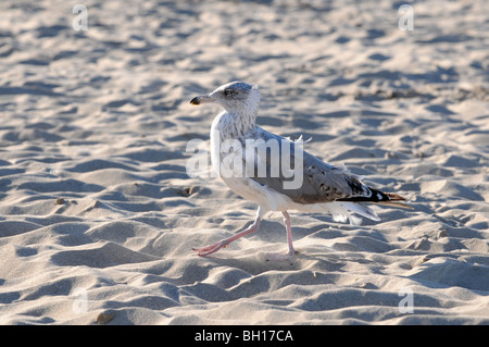 Mew (probably young Herring Gull, Larus argentatus) walking on the beach at Baltic Sea, Swinoujscie, Poland - Stock Photo