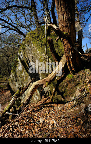 A decaying tree with fallen branches grows from a large boulder in woods near Killin, Perthshire, Scotland, UK - Stock Photo