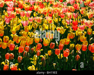 red and yellow tulips in the sun - Stock Photo
