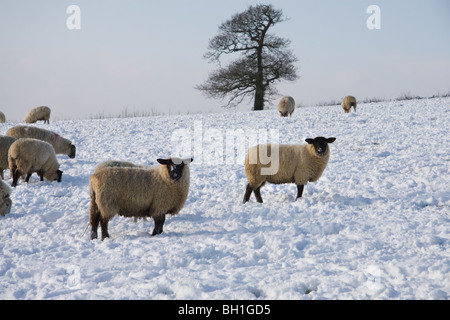Sheep grazing in a snow covered field: Somerset, UK, January 2010 - Stock Photo