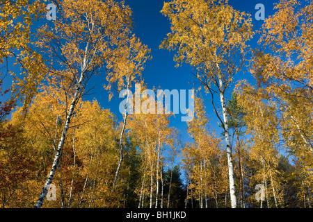 Autumnal birch trees in front of blue sky, Saxon Switzerland, Elbsandsteingebirge, Saxony, Germany, Europe - Stock Photo