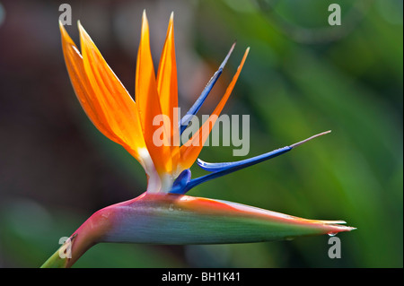 Strelitzia reginae in flower. Also known as Crane Flower or Bird of Paradise - Stock Photo
