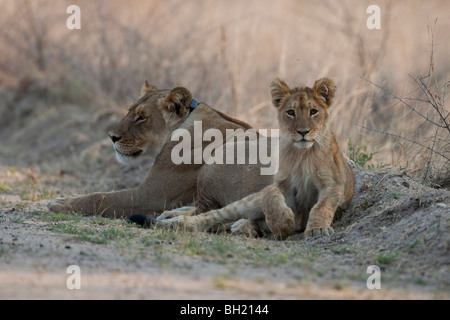 Lion mother with her cub in southern Africa. The photo was taken in Zimbabwe's Hwange national park. - Stock Photo