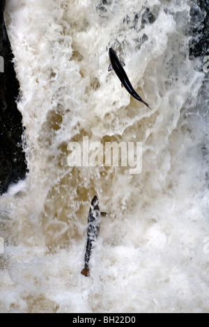 Wild Scottish Salmon leaping up the Black Linn waterfall, River Braan at the Hermitage, dunkeld, Perthshire, Scotland - Stock Photo