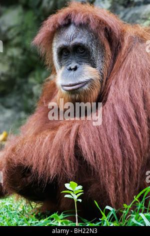 Orangutan (Pongo pygmaeus), Native to Borneo, Indonesia - Stock Photo