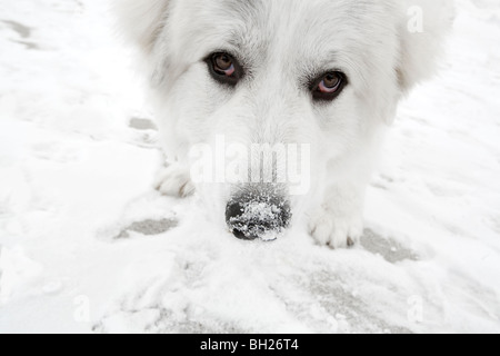 Great pyrenees eating snow - Stock Photo