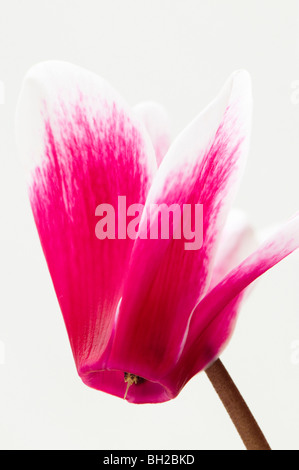 Close up of Cyclamen Fantasia in flower against a white background - Stock Photo