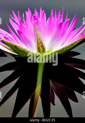 Purple tropical water lily and reflection. Hughes Water Gardens, Oregon - Stock Photo