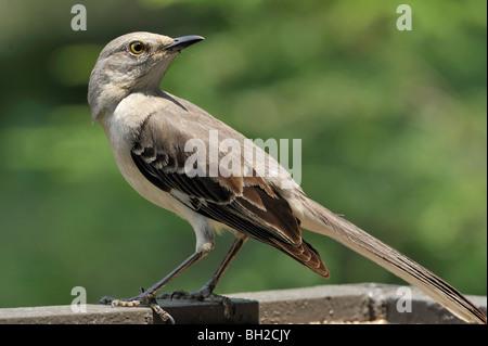 Mockingbird - Stock Photo