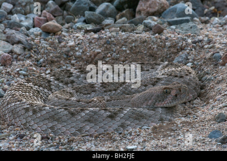 A Western Diamond-backed Rattlesnake (Crotalus atrox) coiled in the sand at dusk. - Stock Photo