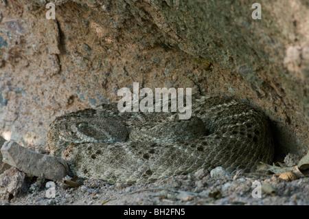 Western Diamond-backed Rattlesnake (Crotalus atrox) coiled in a sandstone crevice, near Tucson, Arizona. - Stock Photo