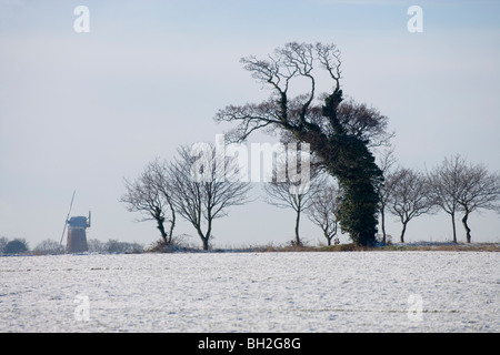 Oak Trees (Quercus robur), covered in Ivy (Hedera helix). Sutton Wind Mill, Norfolk. Winter with recent snow fall. - Stock Photo
