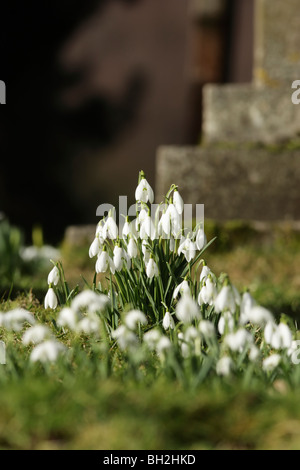 A small display of dazzling white snowdrops (Galanthus nivalis) in a church yard - Stock Photo