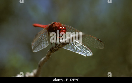 Broad scarlet dragonfly, Crocothemis erythraea resting on perch Camargue, France - Stock Photo