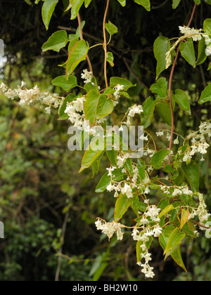 Russian-vine, fallopia baldschuanica - Stock Photo