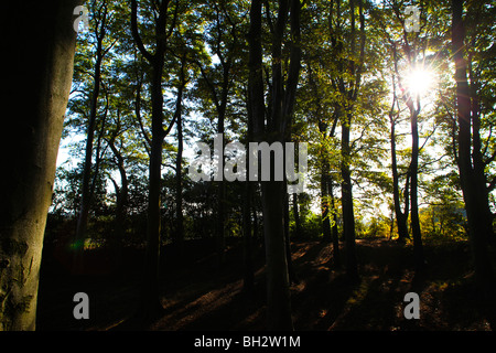 Sunlight streaming through trees at Frankley Beeches in Birmingham, England. - Stock Photo