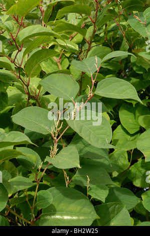 Japanese Knotweed, fallopia japonica - Stock Photo
