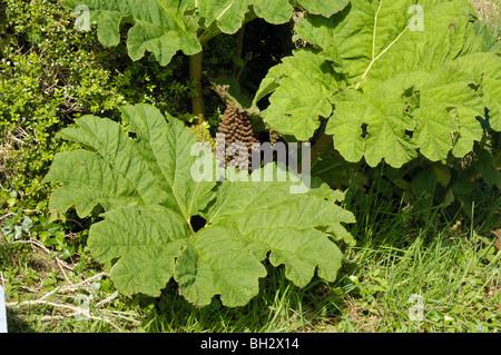 Giant-rhubarb, gunnera tinctoria