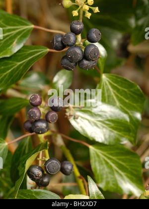 Atlantic Ivy, hedera hibernica - Stock Photo