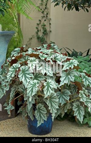 Begonia  in Ceramic Container - Stock Photo